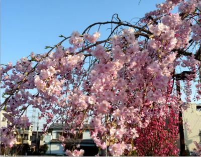 日記4・13しだれ桜1