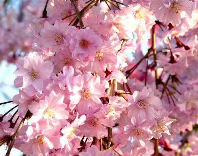日記4・13しだれ桜4