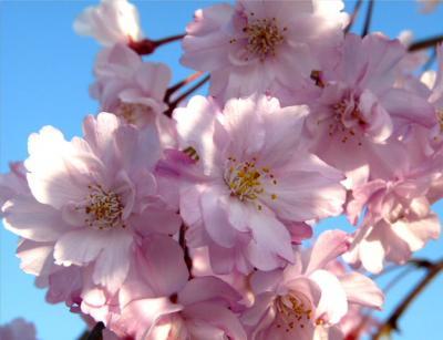 日記4・13しだれ桜3