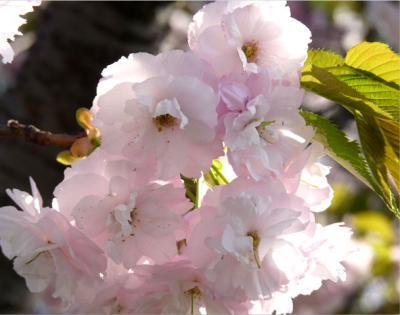日記4・18八重桜1