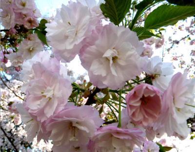 日記4・18八重桜2
