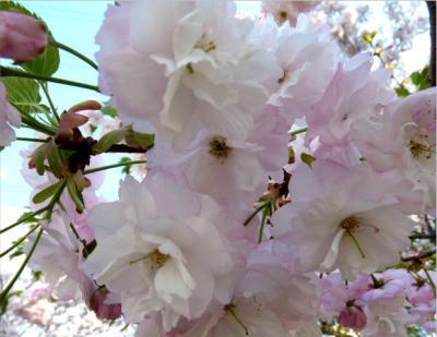 日記4・18八重桜3