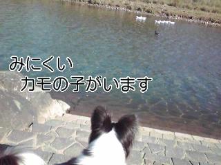 カモの子発見☆