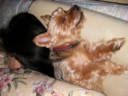 かみさんの枕を占拠した我家のワンコ