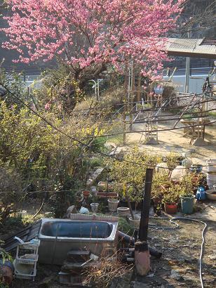 花桃と野天風呂
