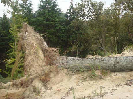 倒れたポプラの巨木