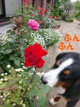 REXと赤いバラ。