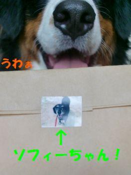 封筒のソフィーちゃんと!