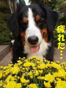 まだ撮るんだ・・・。菊と・・・。