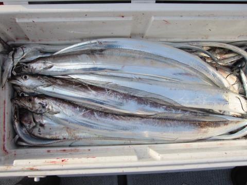 アキⅢ太刀魚