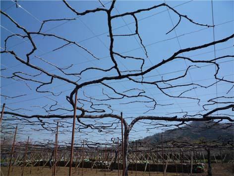葡萄の木01