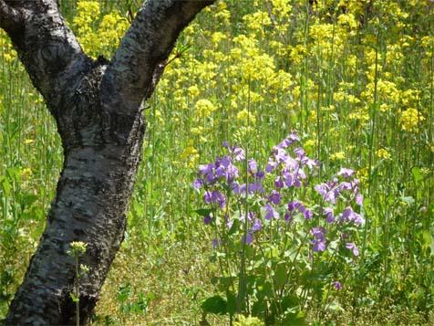 菜の花と01