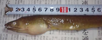 ダイナンウミヘビの厳つい顔