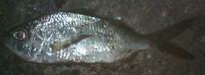 ウミタナゴに似ているように見えますが何の魚でしょう?