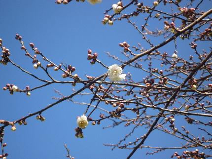 初春の白梅