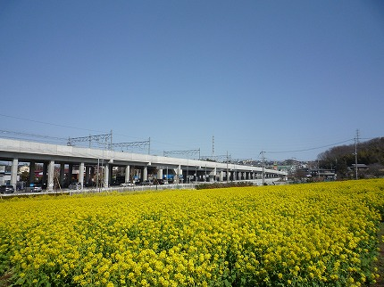 川和町の菜の花畑