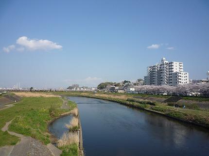 鶴見川の桜1