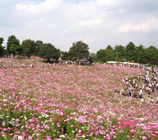 昭和記念公園コスモス 071-s