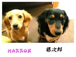 marron-tanginjirou.jpg