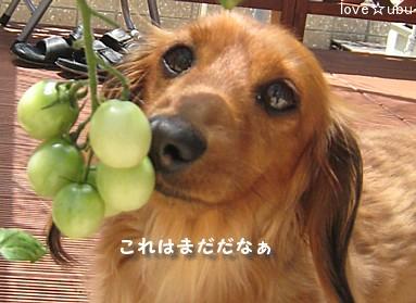 乏しいトマト②