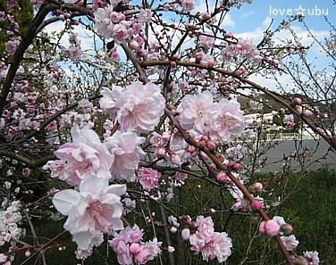 なに桜??