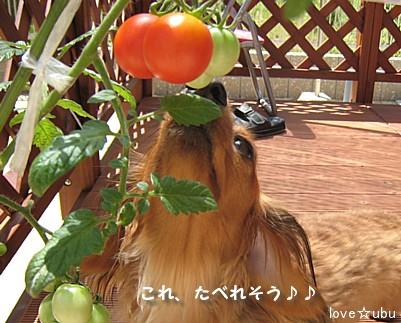 乏しいトマト③