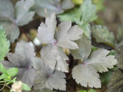 ムラサキミツバ