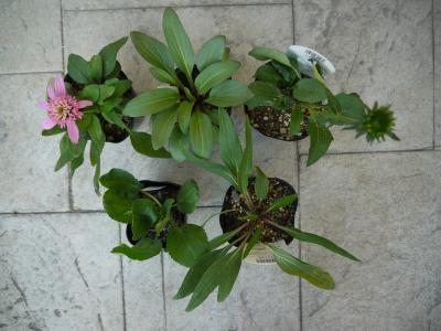 Echinacea purpurea  Rudbeckia   Eryngium planum