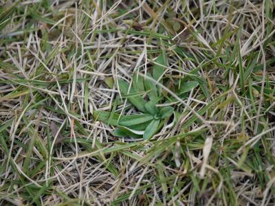 芝の中の雑草