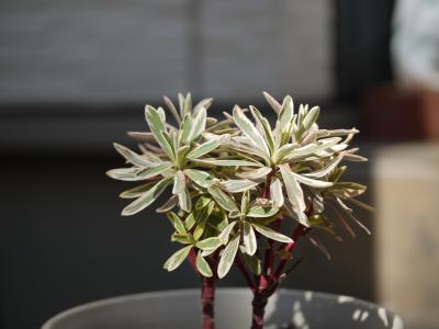 Euphorbia characias Silver Swan