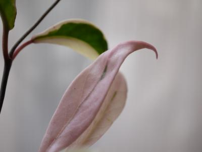 Hoya  carnosa  リップカラー