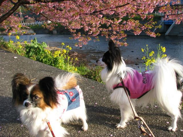 河津桜とコタサク