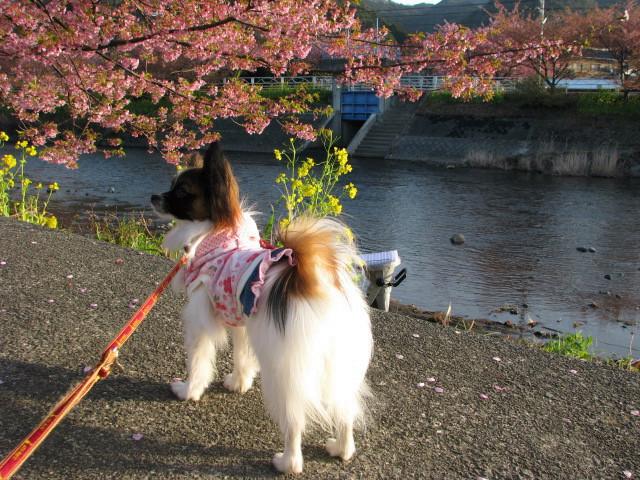 桜が綺麗でち