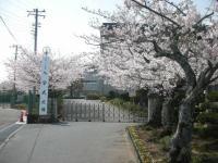 桜も満開1