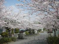 桜も満開2