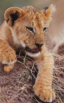 lion_003.jpg