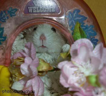 オムレツ君、桜祭りですよ