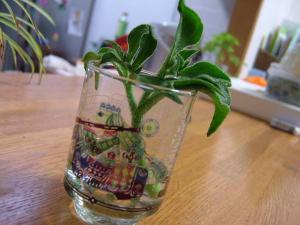 アイスプラント栽培