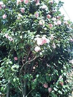 桜の隣もピンクの花