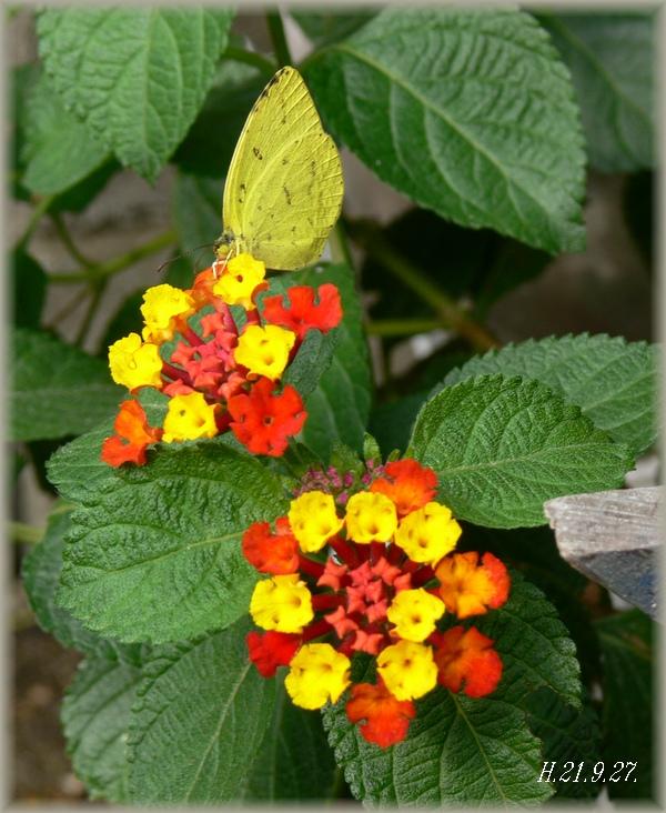 赤いランタナと紋黄蝶