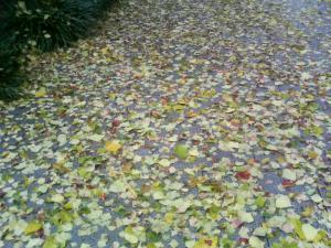 名古屋街路樹の落葉