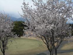 藤原GCの桜