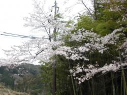 馬頭観音の桜