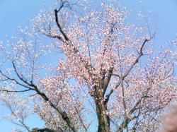 鉱山事務所の桜