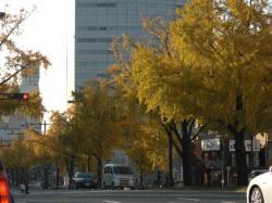 名古屋桜通りの銀杏