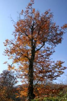 ブナの木3