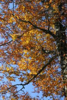 ブナの木2