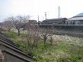 2009329桜2