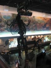 ティラノ化石