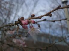 桜2007-4